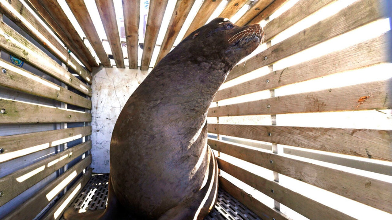 Why Is Oregon Killing Sea Lions?