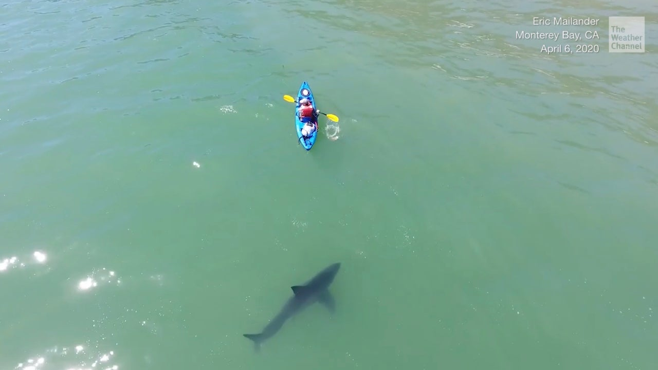 White sharks have been a part of the Monterey Bay ecosystem for years, but now, the shark population is growing, as well as the sharks.