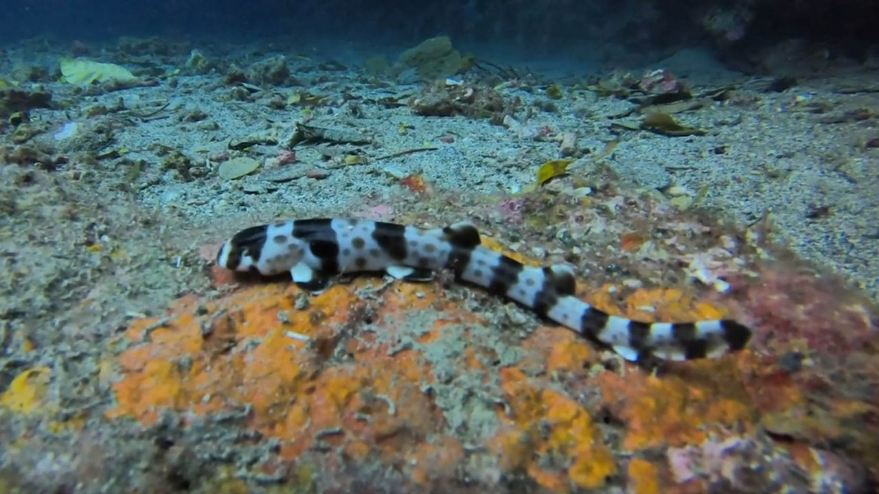 Rare 'Walking Sharks' Discovered in Tropical Waters