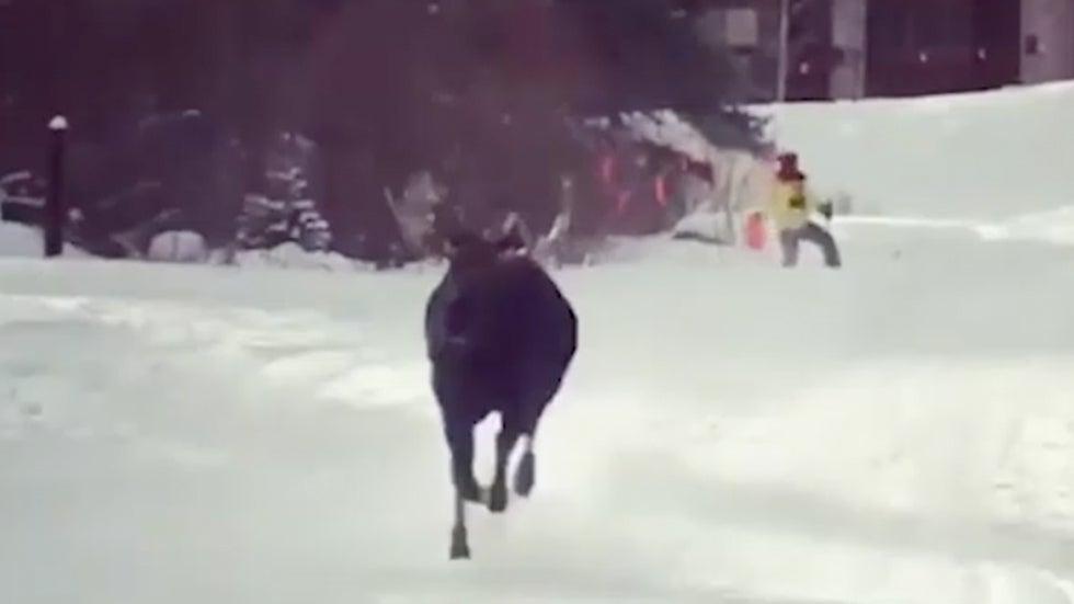 Moose Chases Skier Down Slope at Colorado Resort