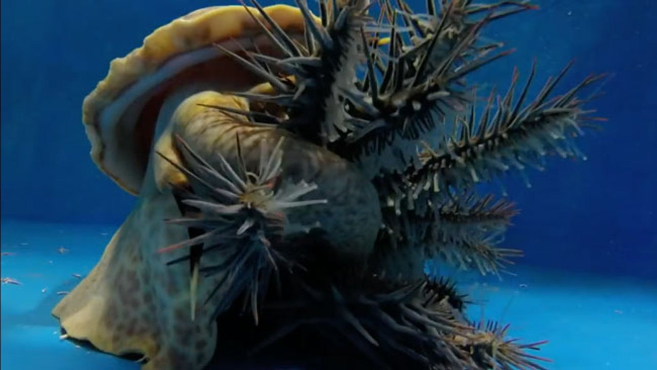 Watch: Snail Devours Crown of Thorns