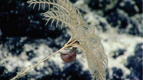 In the deepwater areas around Kingman Reef, several gastropods were observed with their mouth apparently placed on the anal vent of multiple bathycrinid stalked crinoids. (NOAA CAPSTONE project)