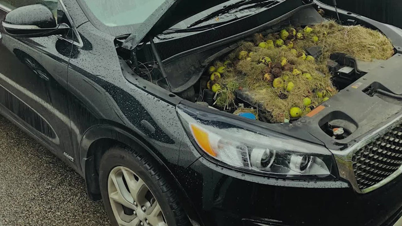 Squirrel Stores 200 Walnuts Under Car Hood in Pittsburgh