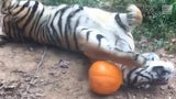 Wild video: Tiger gets ready for Halloween