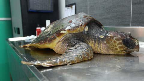 Surnommée Carmen, la tortue va plutôt bien. Elle sera soignée et relâchée cet été. (Crédit Aquarium-LaRochelle SAS)