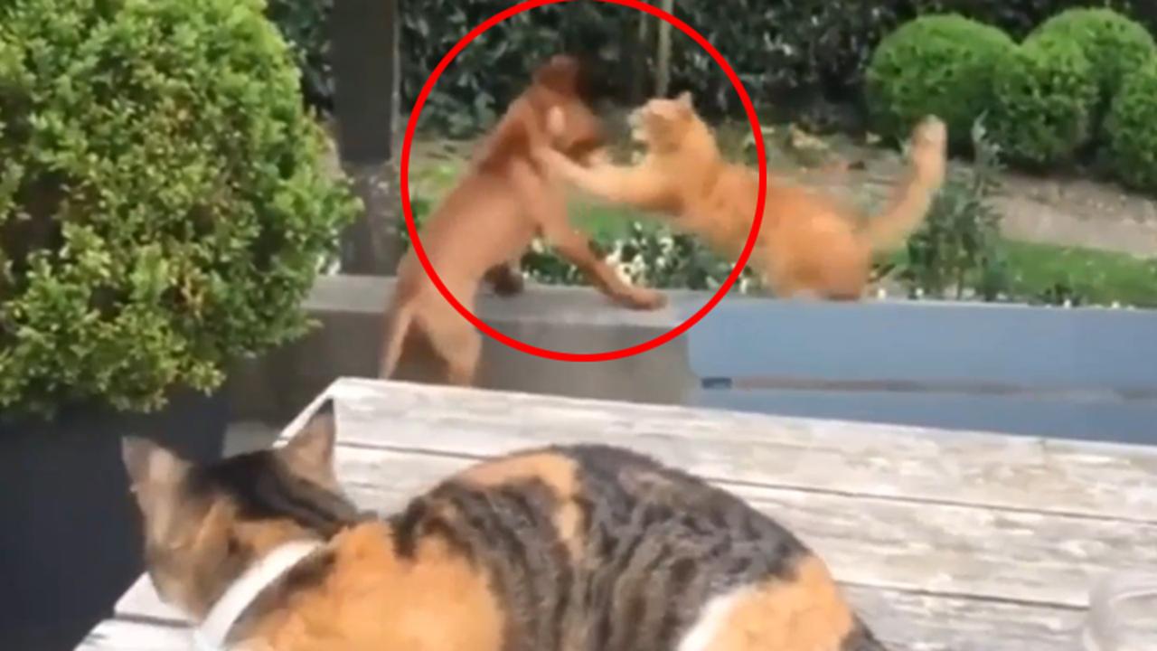 Ein junger Hund will mit einer Katze spielen. Der passt das nicht, und sie verjagt den Hund kurzerhand. Das ruft wiederum eine Rivalin auf den Plan.