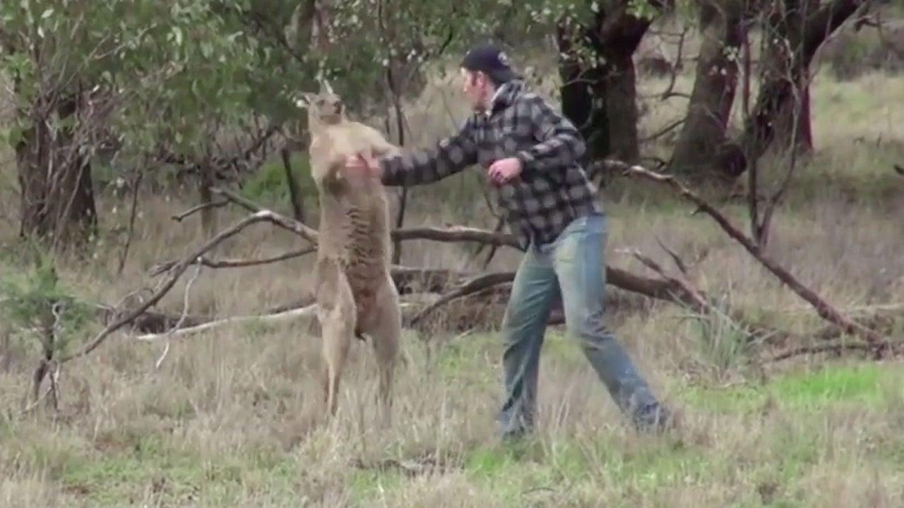 Bei einem Jagdausflug im australischen Outback sieht ein Mann, wie ein Känguru seinen Hund Max in den Schwitzkasten nimmt. Er boxt sich mit dem Beuteltier.