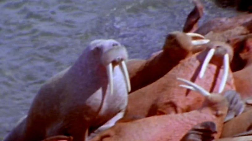 Walruses Have Come Ashore Earlier Than Usual