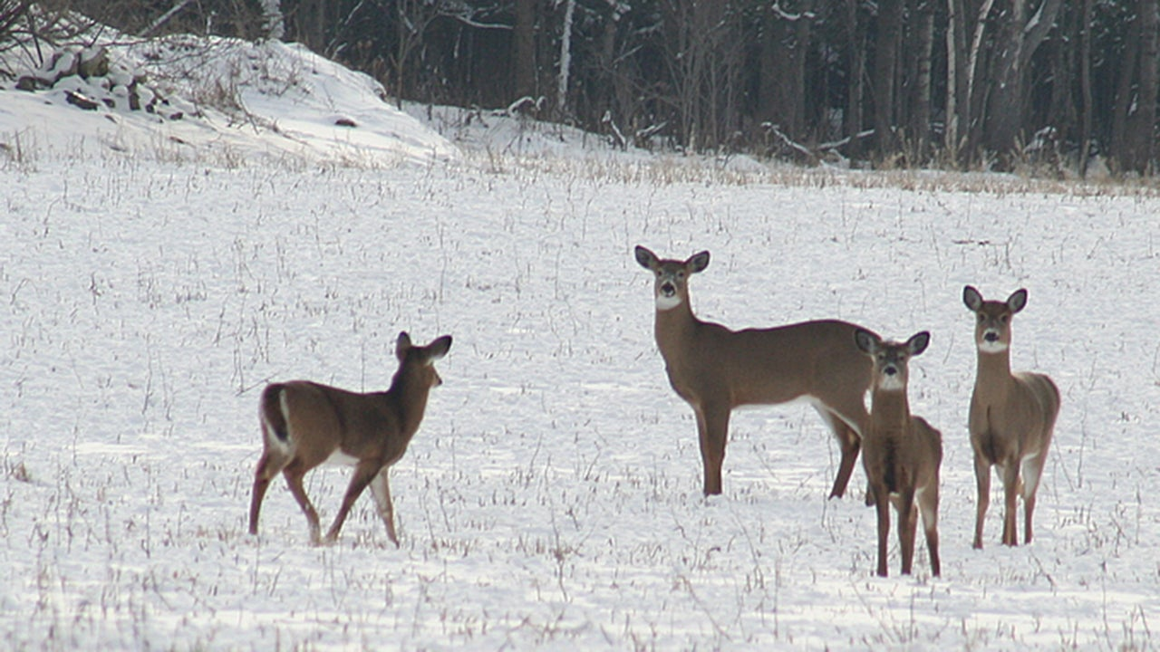 Zombie Deer Disease Impacting Nearly Half Of U S