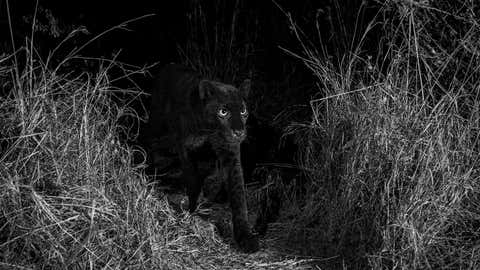 British wildlife photographer Will Burrard-Lucas has captured a series of high-quality camera trap photographs of a wild melanistic leopard, otherwise known as a black leopard or black panther, in Africa. The rare big cat was photographed with a Camtraptions camera trap at Laikipia Wilderness Camp in Kenya. (Will Burrard-Lucas)