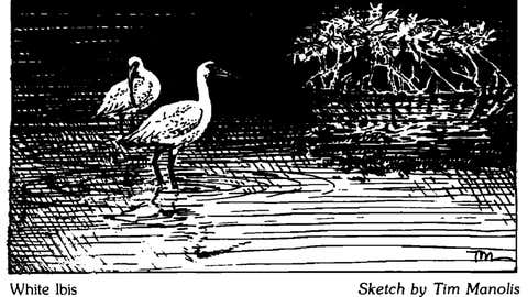 Wyoming: A sketch of a pair of White Ibises, submitted in a paper discussing a White Ibis sighting in Wyoming. White ibises are not native to the area, but one was likely carried north to Wyoming by the atmospheric winds associated with Hurricane Kathleen in September 1976. The record for rainfall in the state associated with a tropical cyclone remnant is held by Hurricane Javier in 2004, when 2 inches fell. (Tim Manolis)