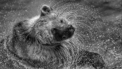 """""""Tiny,"""" a rescued brown bear, dries off at the Wild Animal Sanctuary in Keenesburg, Colo. (Bary and Athena Burns)"""