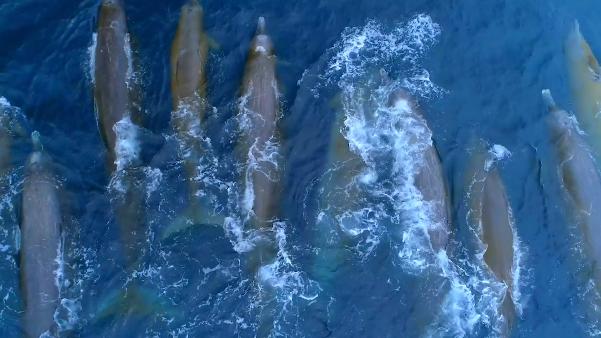 Rare Baird's Beaked Whale Sighting Delights California's Aquatic Animals Lovers