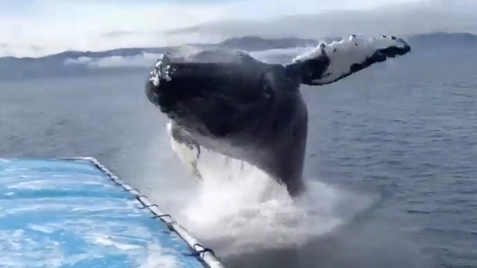 watch tourists get soaked as humpback whale breaches off alaskan