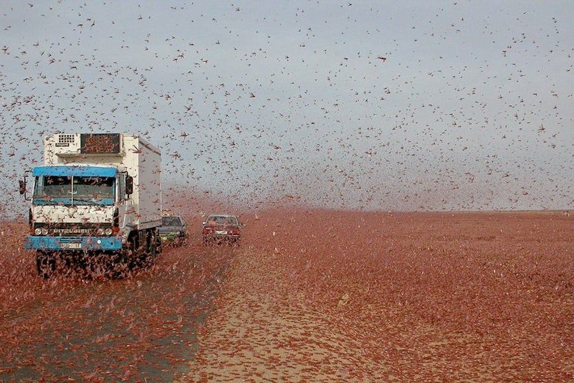 Desert locust swarm, Morocco, 2004