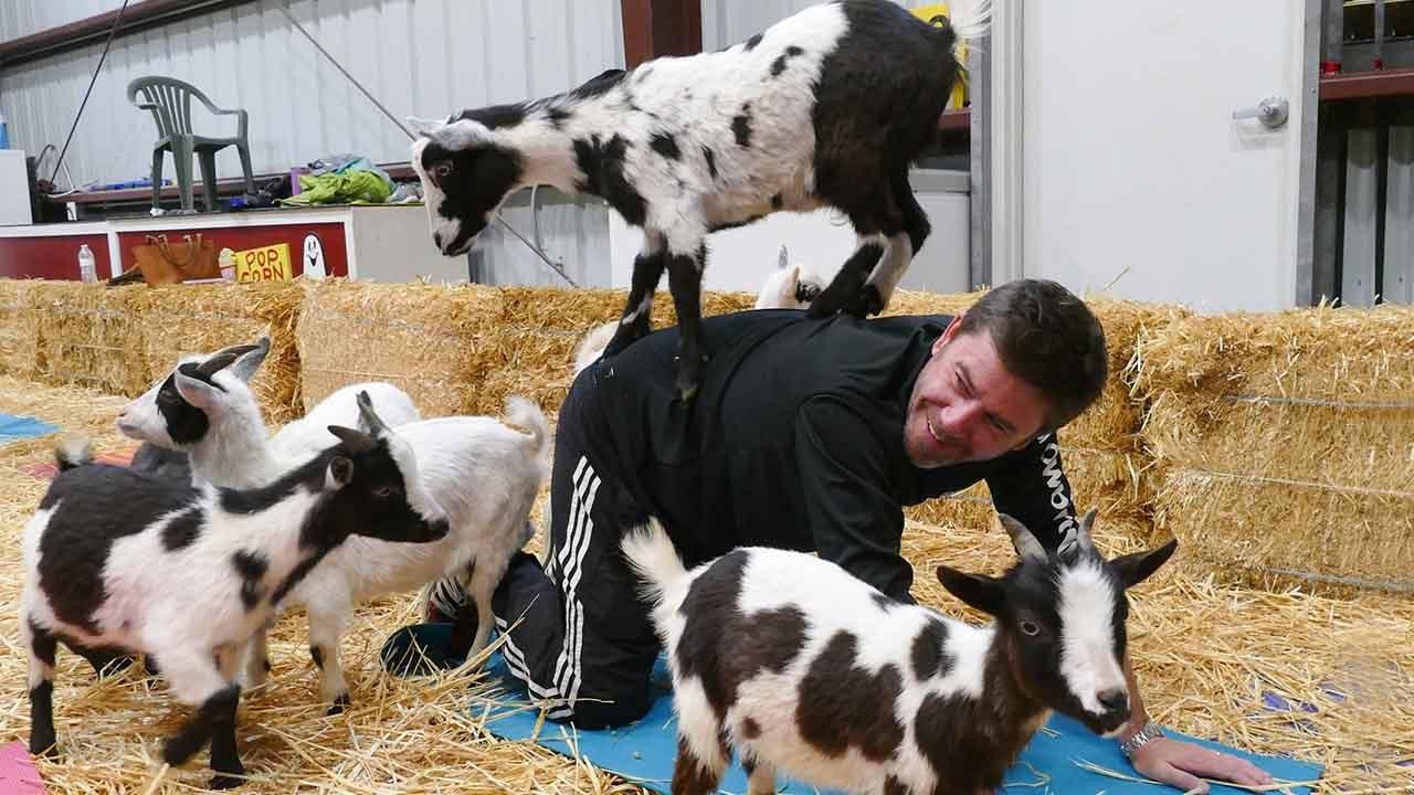 """Mit Ziegen biegen: Verrückter Fitnesstrend """"Goat Yoga"""" auf dem Vormarsch"""
